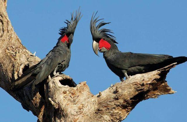 Два черных какаду