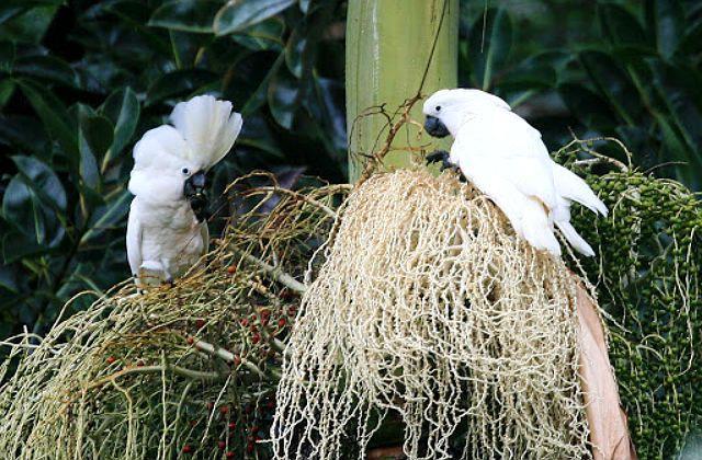 Какаду попугай - размножение;tybt