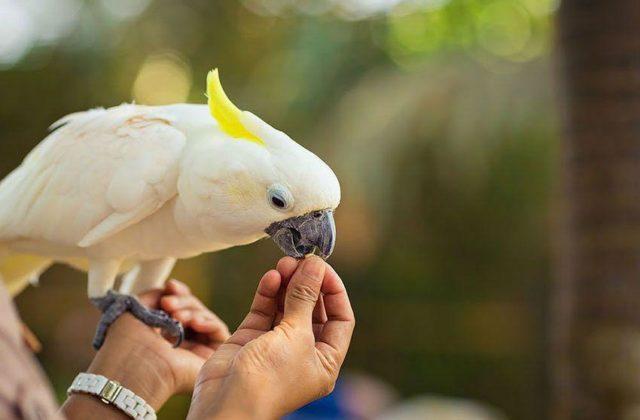Какаду попугай (2)