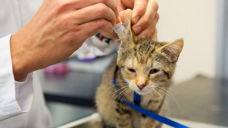 Капли от ушного клеща для кошки