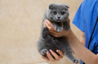 Кастрация вислоухого кота - главное фото