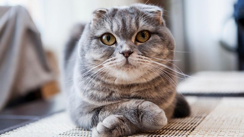 Кастрация вислоухого кота - плюсы