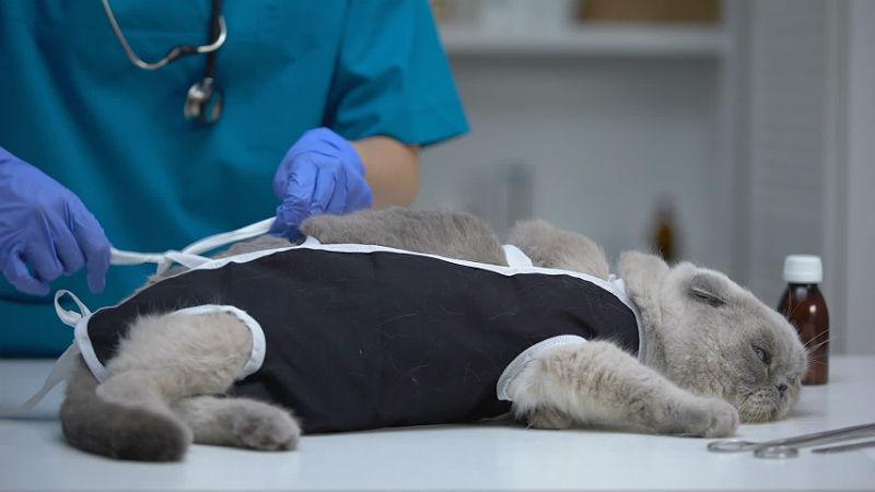 Стерилизация шотландских вислоухих кошек в зрелом возрасте