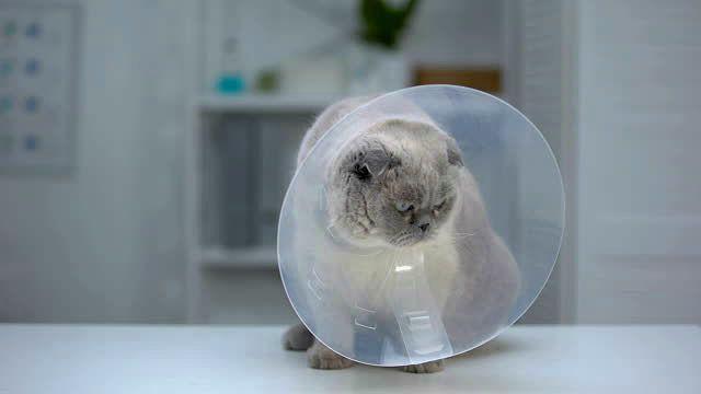 Кастрация вислоухого кота - защитный воротник