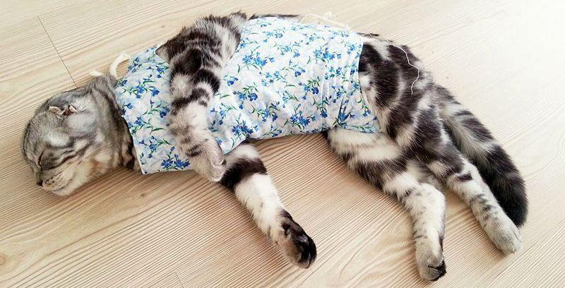 Стерилизация шотландских вислоухих кошек