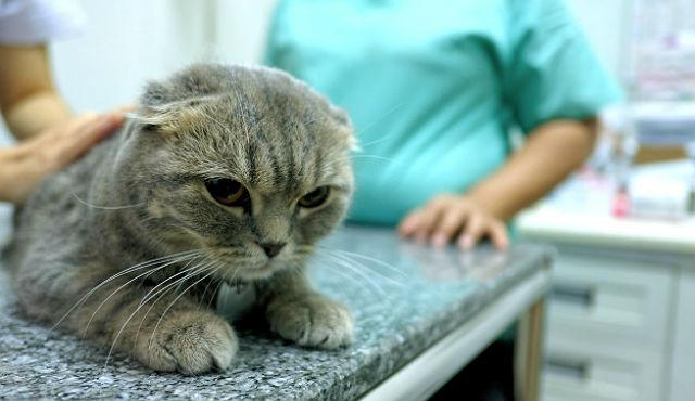 Стерилизация шотландских вислоухих кошек - возраст