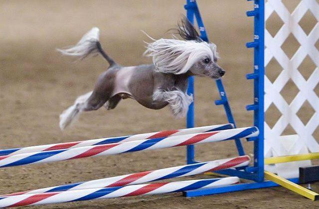 Китайская хохлатая собака прыгает