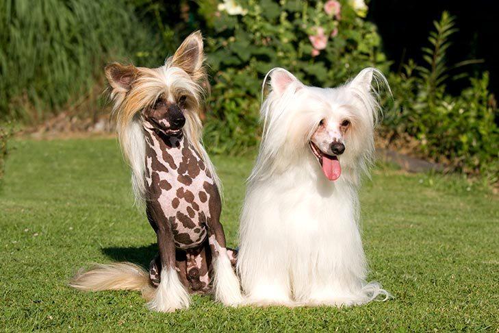 Китайская хохлатая собака - главное фото