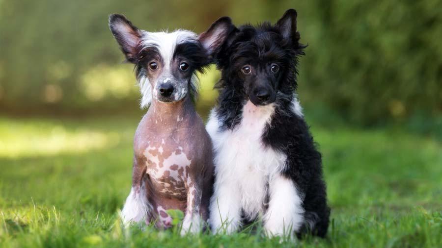 Китайская хохлатая собака - типы шерсти