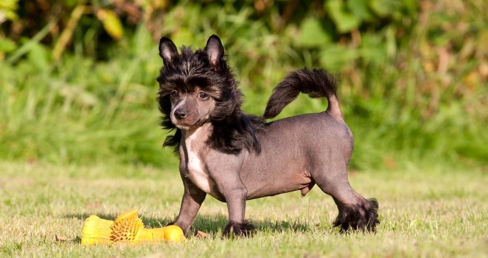 Китайская хохлатая собака - выбор щенка