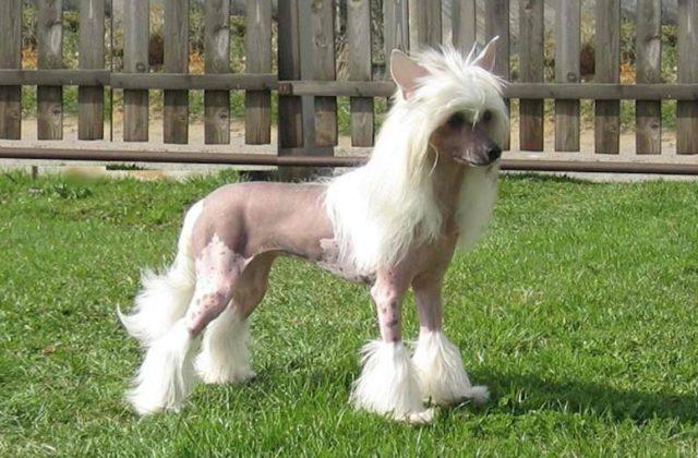 Китайская хохлатая собака с белой шерстью