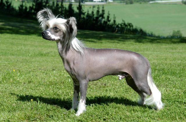 Китайская хохлатая собака - вид сбоку