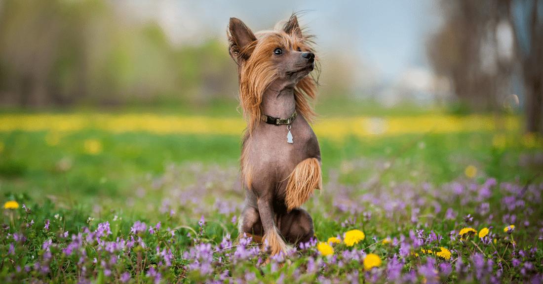 Китайская хохлатая собака - окрасы