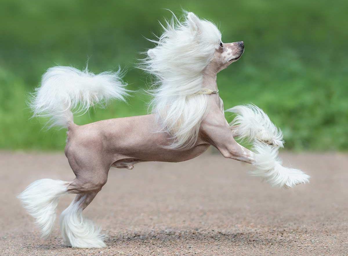Китайская хохлатая собака - внешний вид