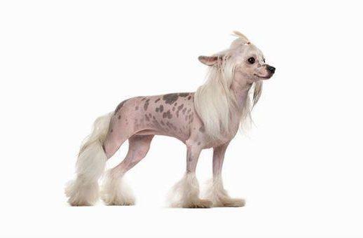 Китайская хохлатая собака - пятнистая