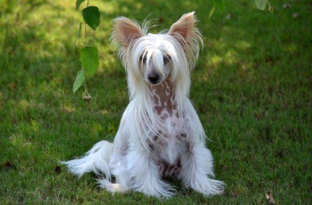 Китайская хохлатая собака - вид спереди