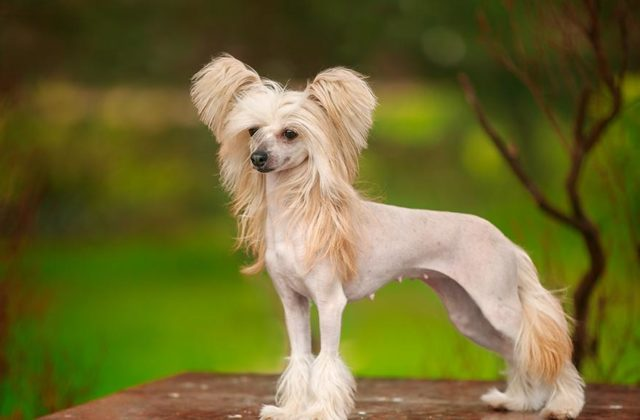 Китайская хохлатая собака стоит