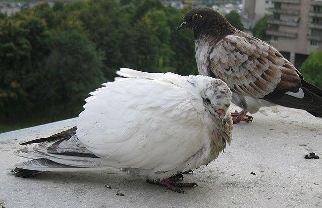 Клоацит у голубя