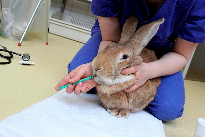 Кокцидиоз у кролика - лечение медикаментами