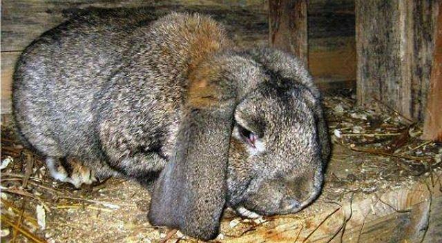 Кокцидиоз у кролика - симптомы