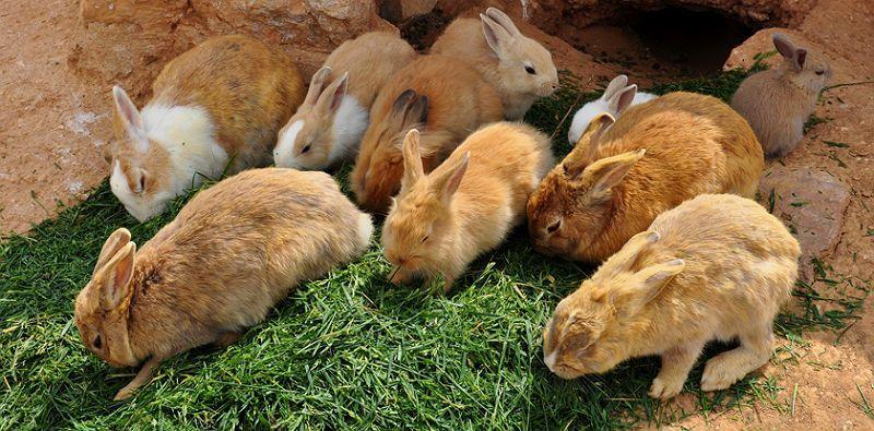 Бройлерный способ откармливания кроликов