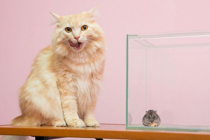 Как в одной квартире содержать кошку и хомяка