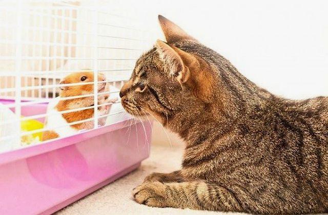 Можно ли подружить кошку и хомяка