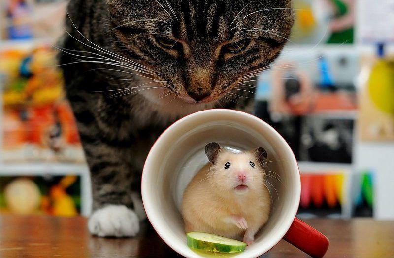 Может ли кошка съесть хомяка