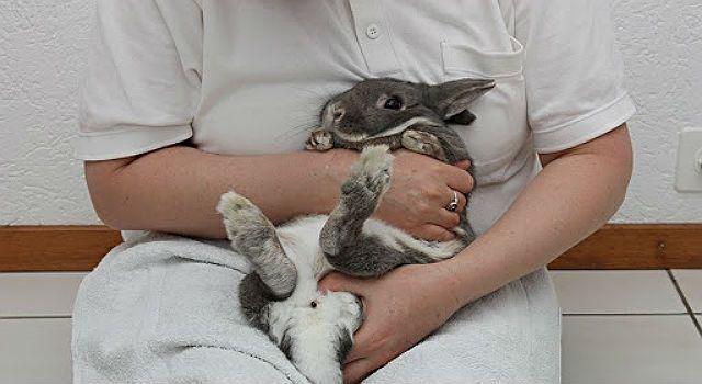 Красная моча у кролика - осмотр у ветеринара