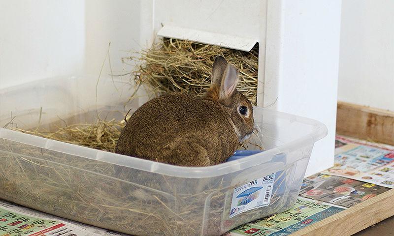 Красная моча у кроликов - физиологические причины