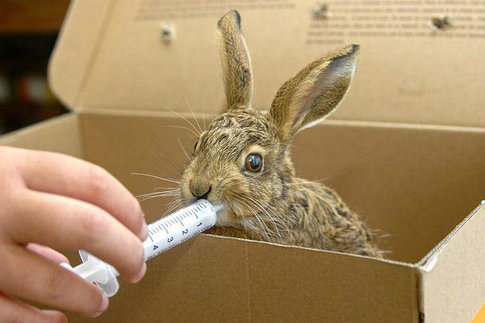 Принудительное кормление кролика