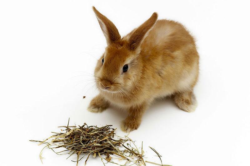 Что делать, если кролик не ест