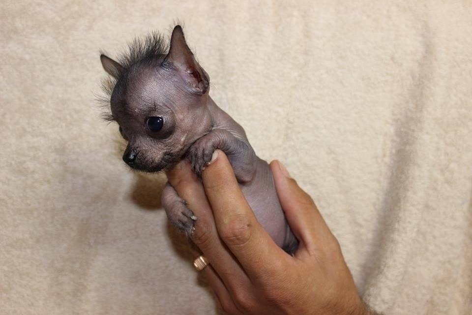 Ксолоитцкуинтли - щенок
