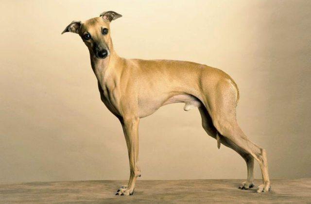 Собака левретка - вид сбоку
