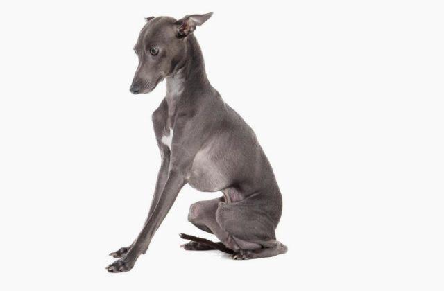 Собака левретка сидит