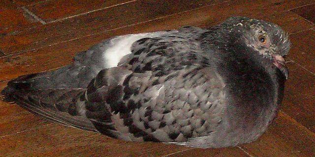 Микоплазмоз у голубя