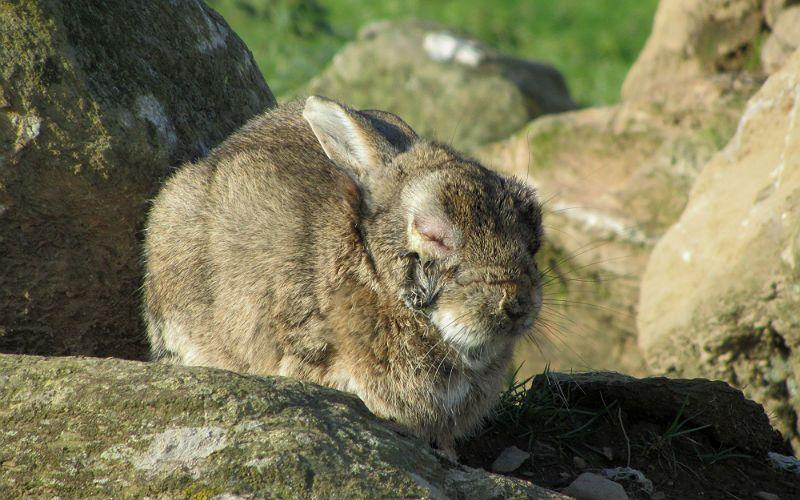Миксоматоз у кроликов - отеки
