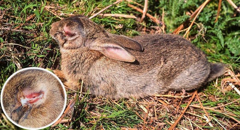 Миксоматоз у кроликов - заражение