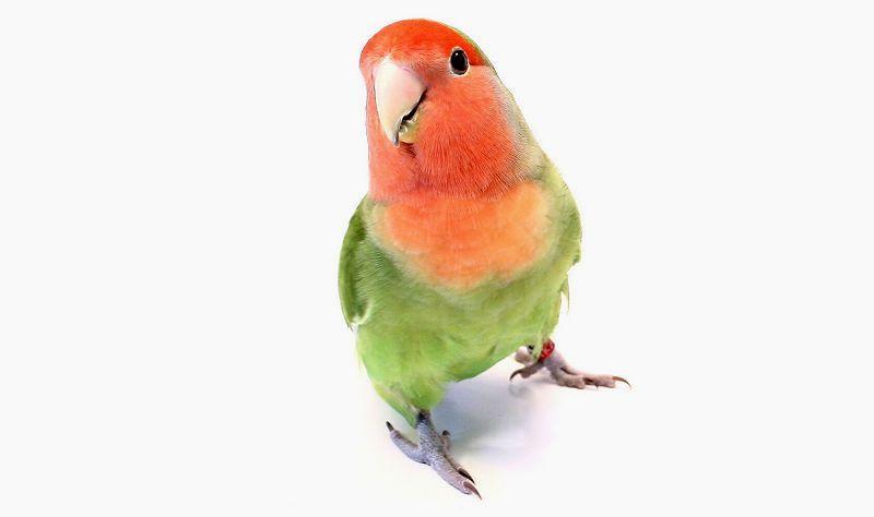 Обучение попугаев неразлучников - главное фото