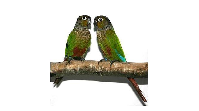 Попугаи пиррура - разведение
