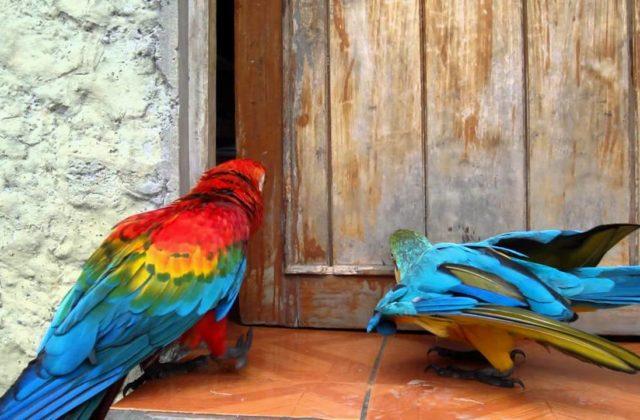 Попугай ара красный (1)