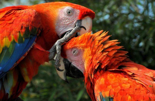Попугай ара красный (3)