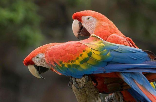 Попугай ара красный (4)