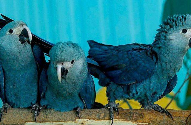 Три синих попугая ара
