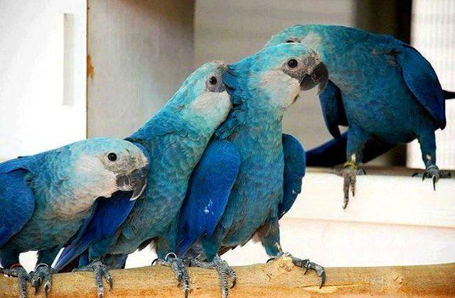 Попугаи ара синие