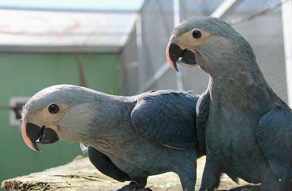Пара синих попугаев ара