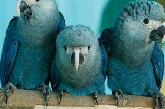 Птенцы синих ара