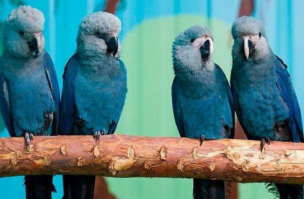 Синие ара на жердочке