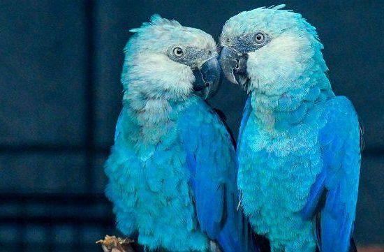 Голубые ара - редкие попугаи
