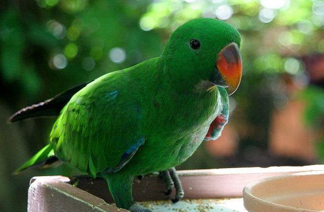 Попугай эклектус (2)